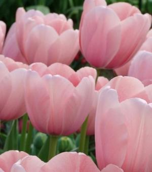 Tulpe Sweet Impression
