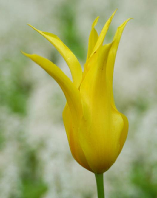 Tulpe West Point