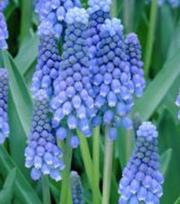 Muscari Botryoides Superstar