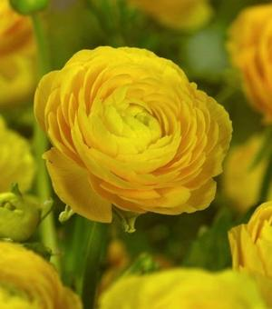 Ranunculus Aviv Dark Yellow
