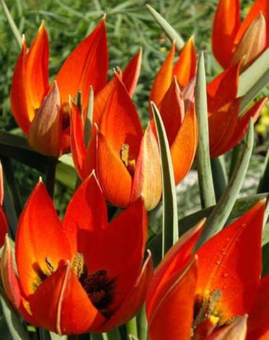 Tulip Whittallii Major