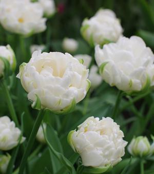 Tulpe Mount Tacoma