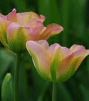 Tulpe Greenland