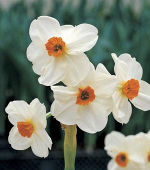 Narzisse Geranium