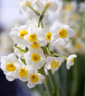 Zimmerzwiebel Narcissus Avalanche