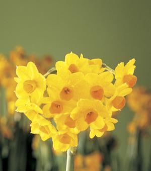 Zimmerzwiebel Narcissus Grand Soleil D'Or