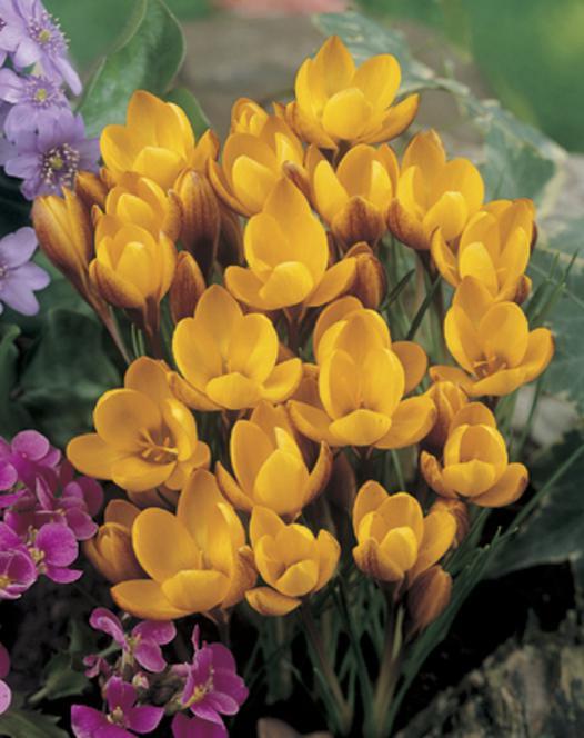 Krokus Chrysanthus Fuscotinctus