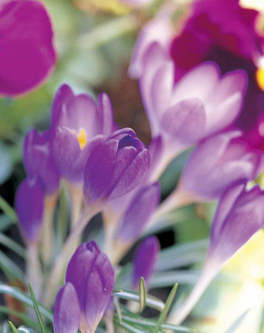Krokus Tommasinianus Barr's Purple