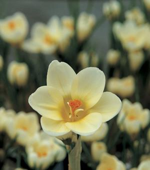 Krokus Chrysanthus Cream Beauty