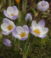 Krokus Chrysanthus Blue Pearl