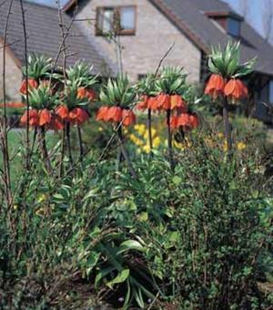 Fritillaria Crown Imperialis Rubra