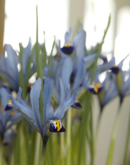 Iris Reticulata Cantab