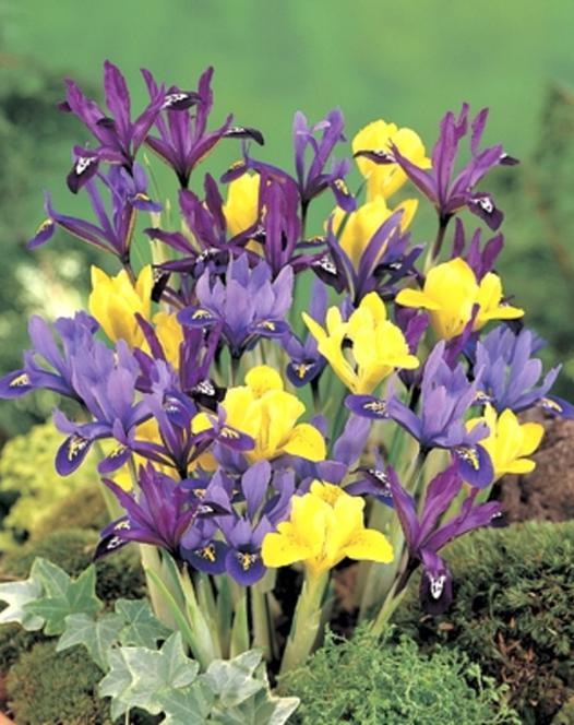 Iris Reticulata Mischung
