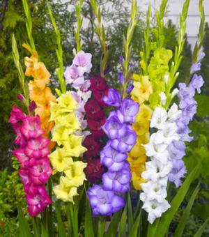 Großblumige Gladiolen Mischung