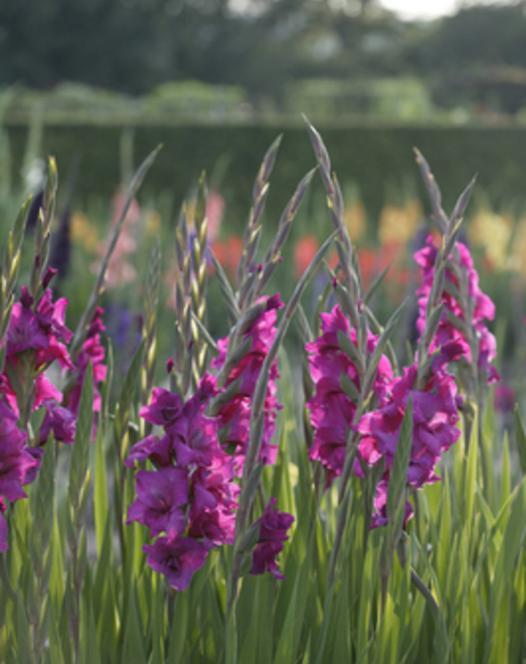 Gladiole Plum Tart