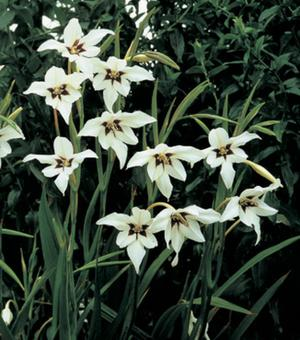Acidanthera Callianthus