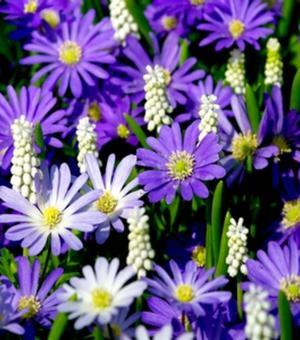 Anemone Blanda Blau
