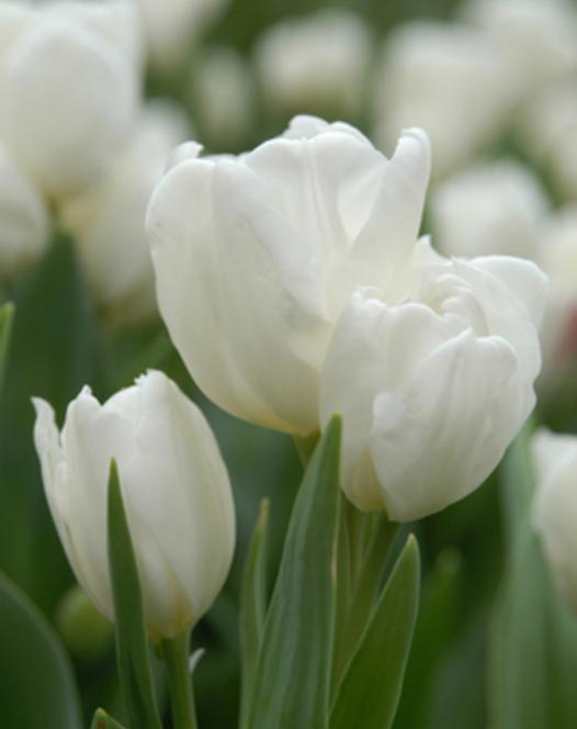 Tulpe Purissima (White Emperor)