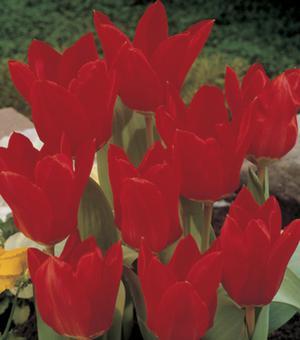 Tulpe Red Emperor (Madam Lefeber)