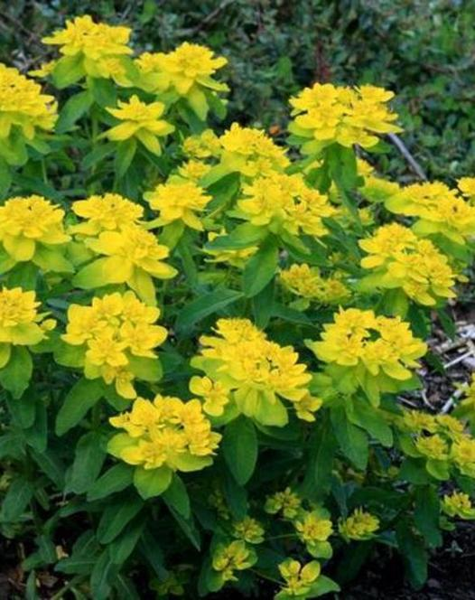 Euphorbia Polycroma