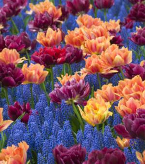 Tulpe William of Orange