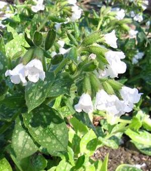 Pulmonaria Sissinghurst White