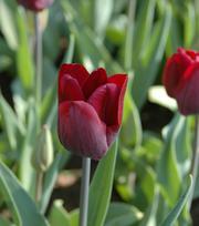 Tulpe National Velvet