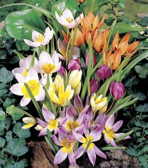 Tulipa Mischung