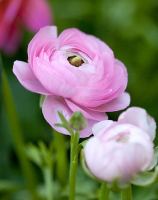 Ranunculus Aviv Roze