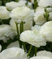 Ranunculus Aviv Weiß