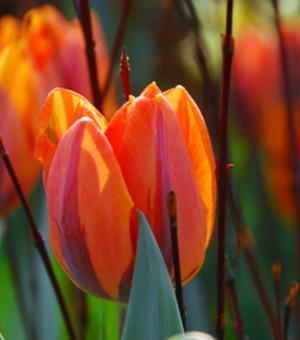 Tulpe Hermitage