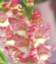 Glaïeul Pink Lady