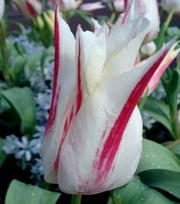 Tulipe Marilyn