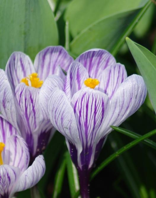 """Pictured <a href=""""/Pickwick.html"""">Crocus Pickwick</a>"""