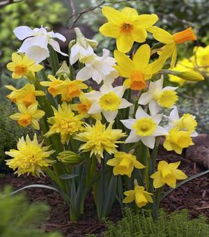 Narcisses Miniature Mélange