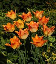 Tulipe Moonblush
