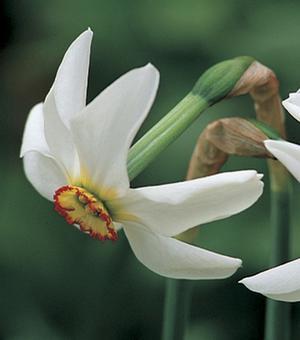 Narcissus Recurvus (Pheasant Eye)