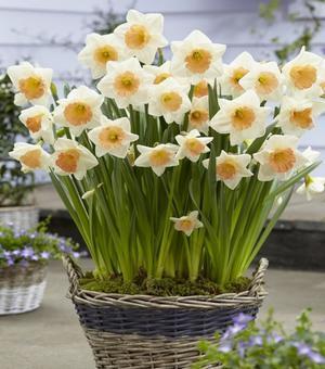 Narcissus Peaches and Cream