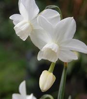 Narcisse Petrel