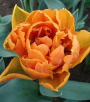 Tulipe Orange Princess