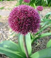 Allium Ostara (Ail d'ornement)