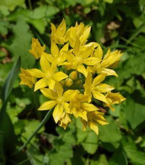 Allium Moly Jeannine (Luteum)