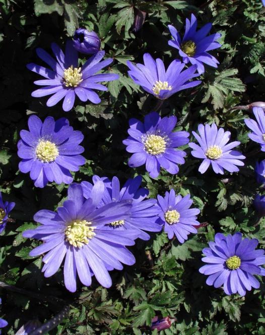 Anemone Blanda Blue
