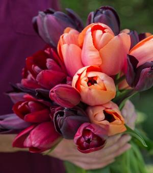Collection Tulipes Abricot et Velours