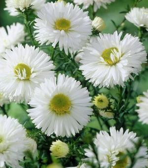 Aster White Ladies