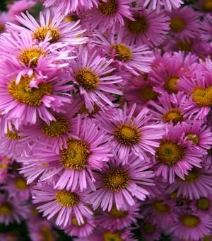 Aster Harrington's Pink