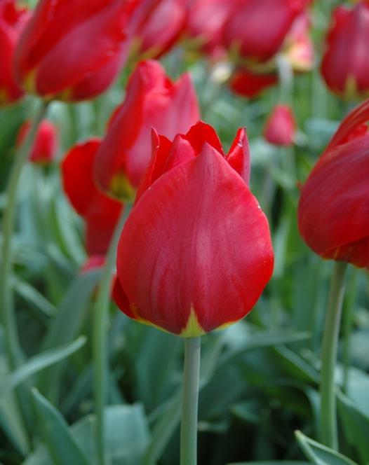 Tulipe Red Revival