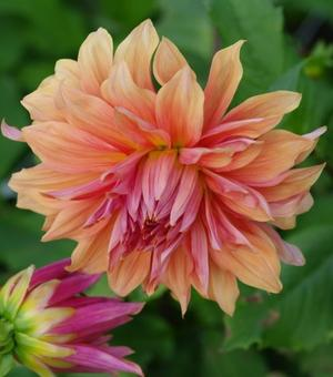 Dahlia Belle of Barmerea