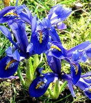 Iris Reticulata Rhapsody
