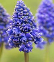 Muscari Armeniacum Blue Spike